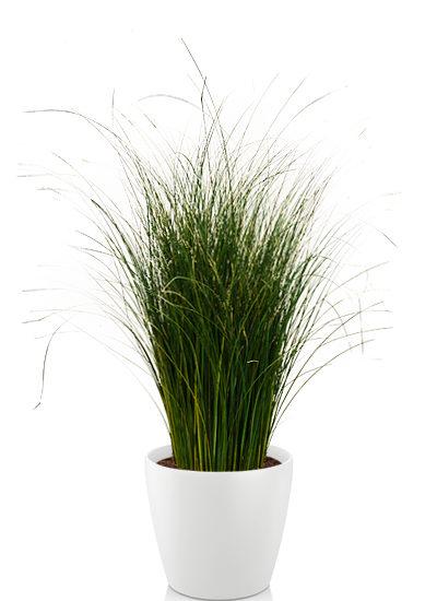 Gynerium grass