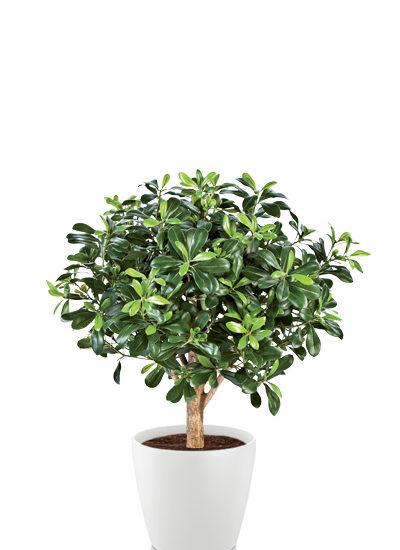 Pittosporum ball tree