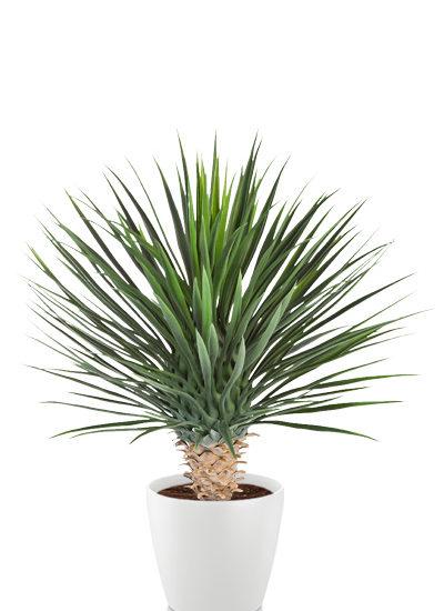 Yucca rostrata deluxe