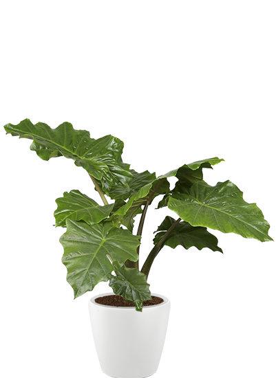 Alocasia portadora plante
