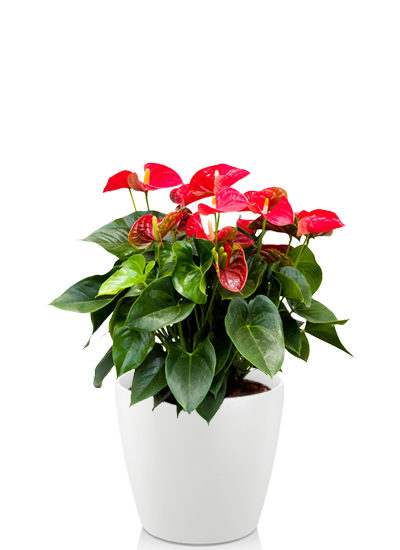 Anthurium and sierra