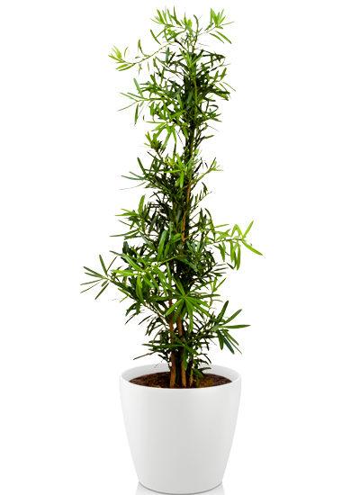 Aspargus falcatus plante
