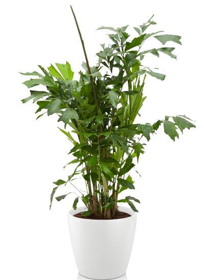 Caryota mitis plante