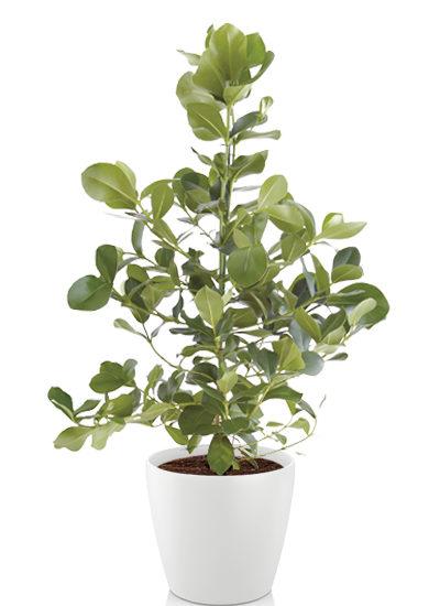 Clusia rosea princess plante