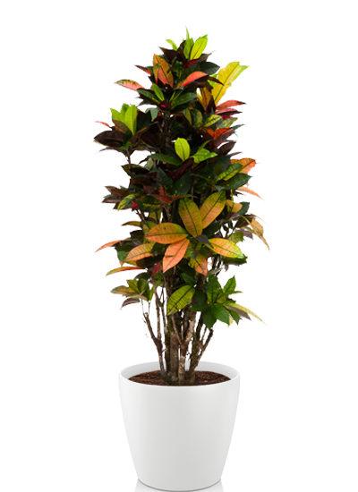 Croton iceton plante