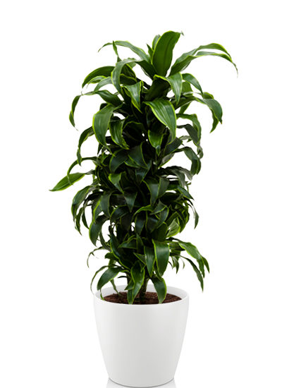 Dracaena dorado plante
