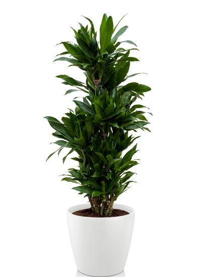 Dracaena janet craig plante