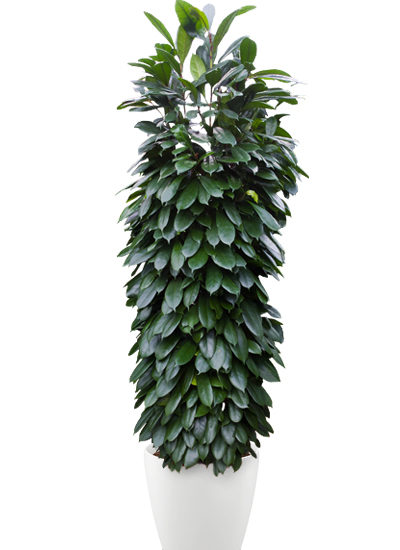 Ficus cyathistipula plante