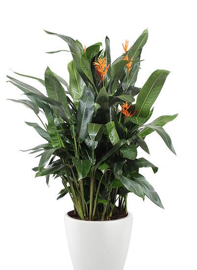 Heliconia curaçao plante
