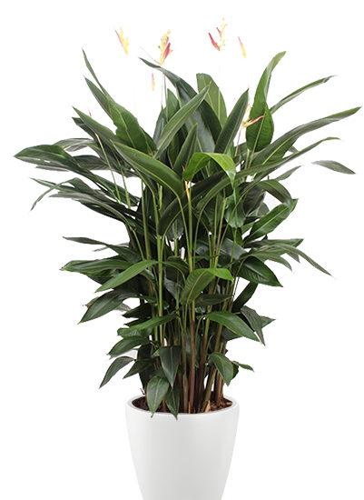 Heliconia hawaii plante
