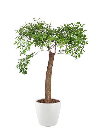 Heteropanax hinensis plante
