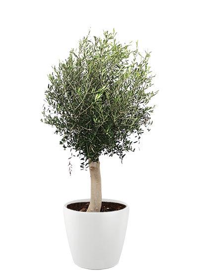 Olea europaea plante