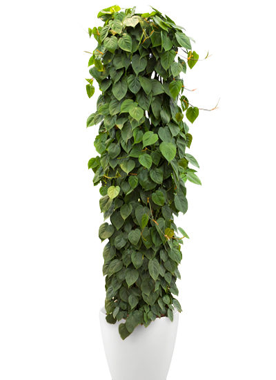 Philodendron scandens plante
