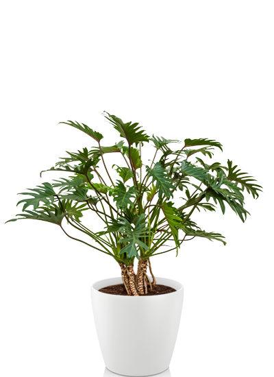 Philodendron selloum plante