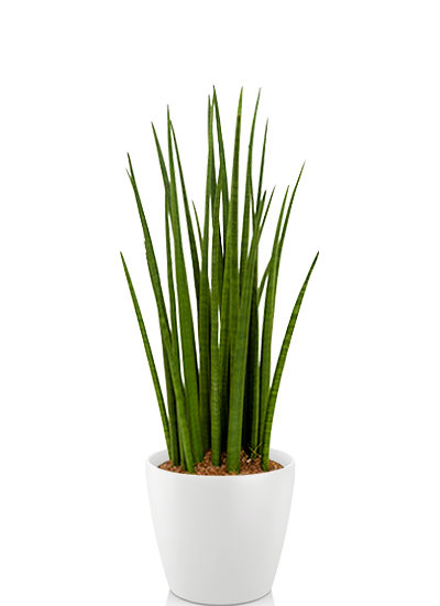 Sansevieria spikes plante