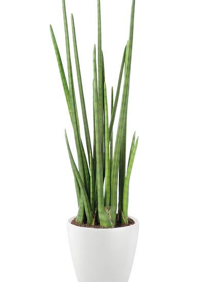 Baton plante