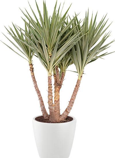 Yucca ET jewel