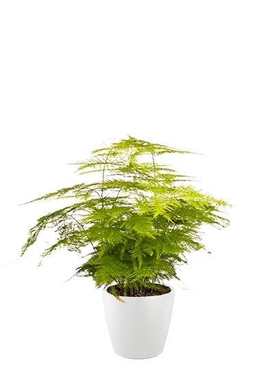 Asparagus plumosus plante