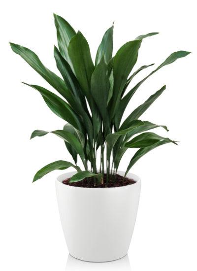 Aspidistra elatoir plante
