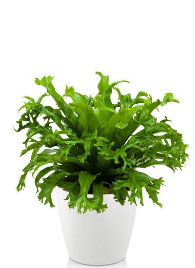 Asplenium amy plante