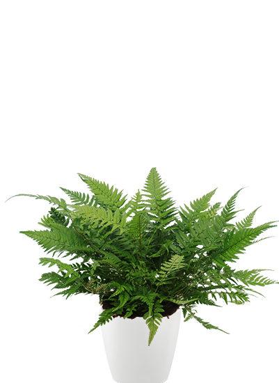 Athyrium plante