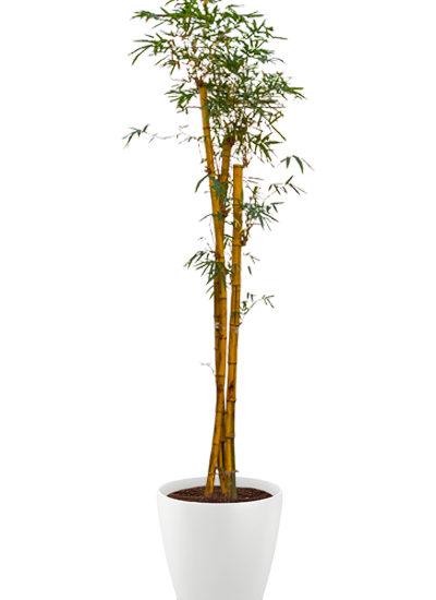 Bambusa plante