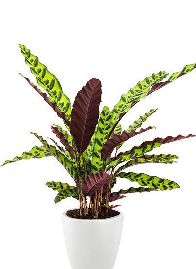 Calathea insignis plante