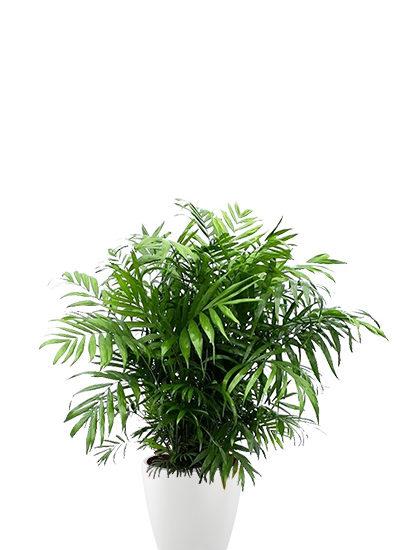 Chamaedorea elegans plante