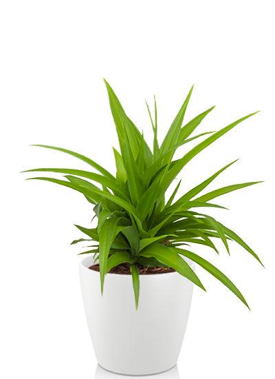 Chlorophytum lemon plante
