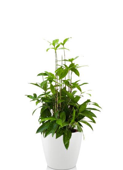 Dracaena surculosa plante