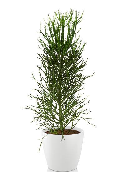 Euphorbia tirucalli plante