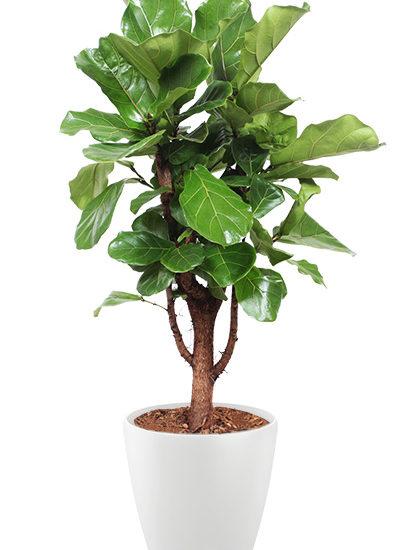 Ficus lyrata plante