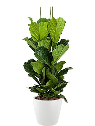 Ficus lyrata multi plante