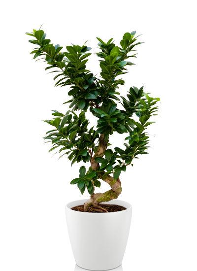 Ficus microcarpa compacta plante