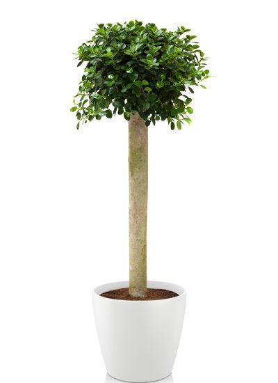 Ficus panda plante