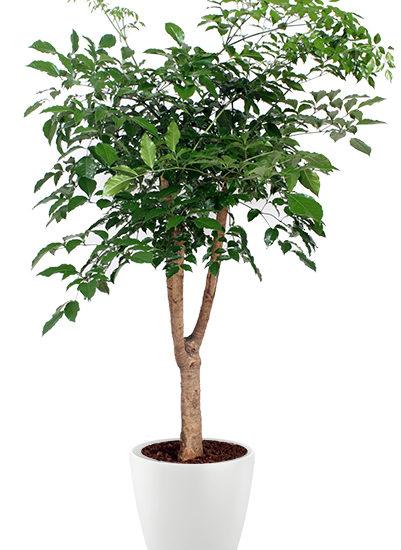 Heteropanax chinensis plante