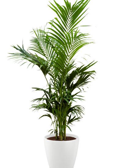 Howea fosteriana plante