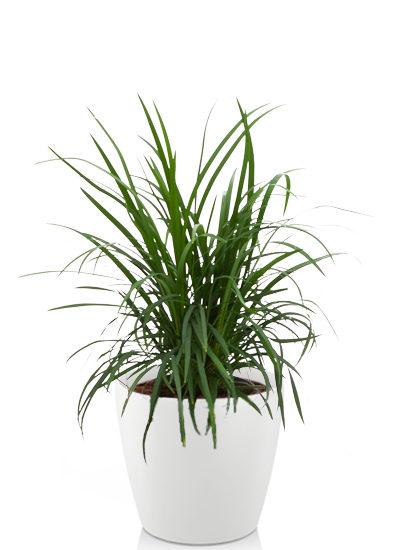 Ophiopogon japonica plante