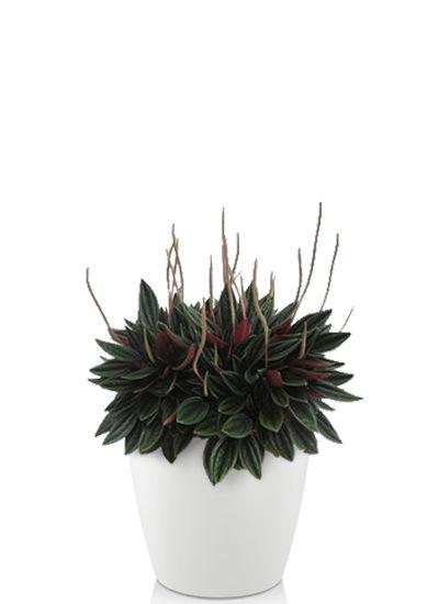 Peperomia plante