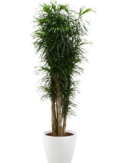 Pleomele anita plante