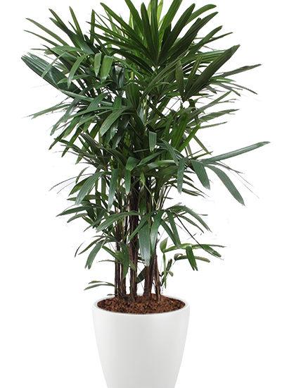 Rhapis excelsa plante