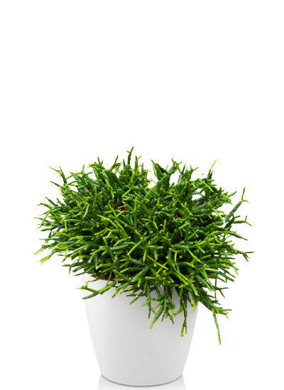 Rhipsalis heteroclada plante