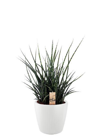 Sansevieria fernwood punk plante
