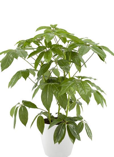Schefflera Actin. Emerald Green planter