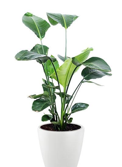 Strelizia nicolai plante